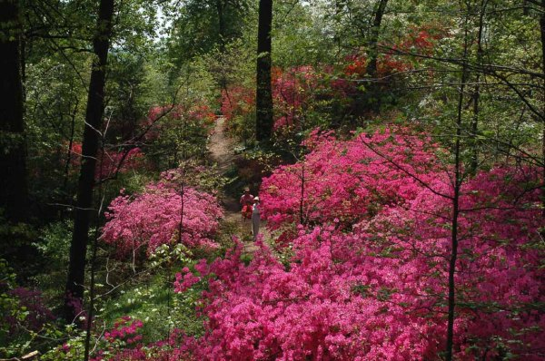 Image from Save the Azaleas